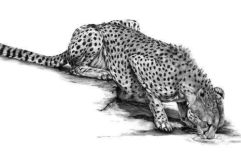 Thirsty Cheetah