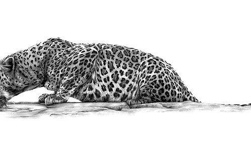 Thirsty Leopard