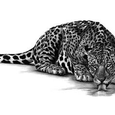 Thirsty Jaguar
