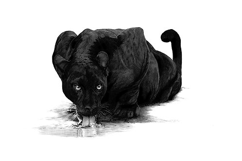 Thirsty Panther