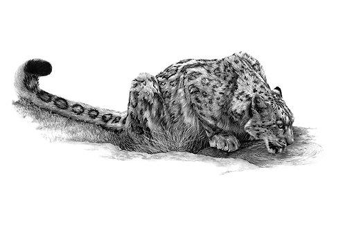 Thirsty Snow Leopard