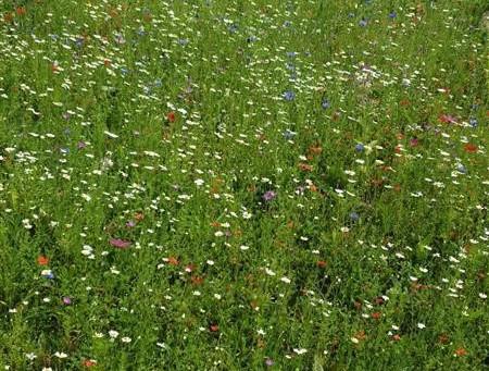 School Wildflower Meadow