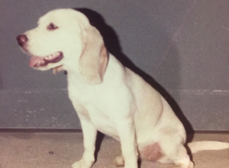 The Story of the Woodpont Strain of Beagles