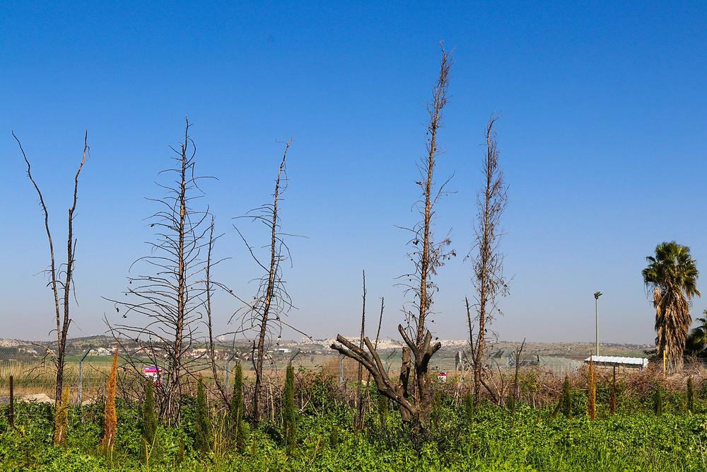 Dead, burnt trees in the midst of flourishing garden of life in Israel.