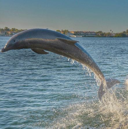 Anna Maria Island Dolphins