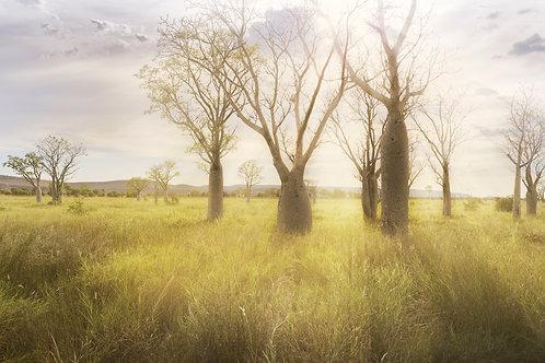 Fields of Boabs