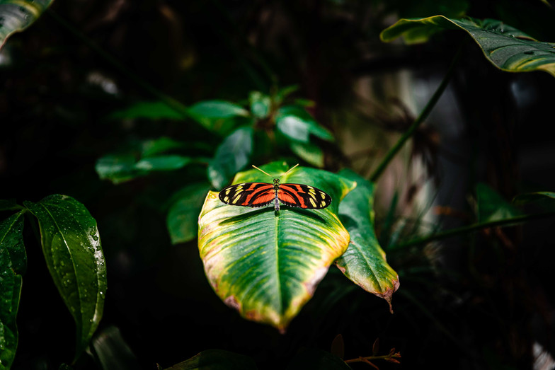 A butterfly at the California Academy of Science in San Fransico, CA.