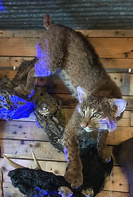 Taxidermy Small Game Mounts; bobcat; fox; raccoon;