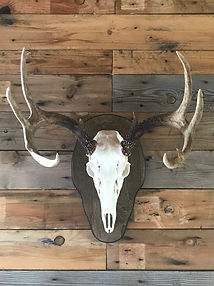 Taxidermy European Mounts; skull; antlers; rack