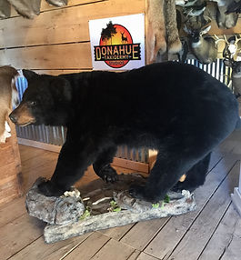 Taxidermy Large Game Mounts; bear; wolf; deer; ram; coyote