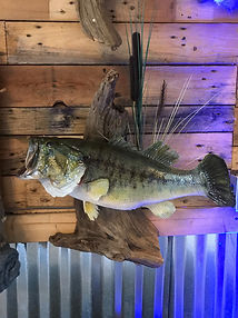 Taxidermy Fish Mounts; fish; saltwater; freshwater; bass; trout
