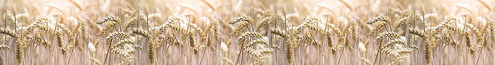 Изображение с колосьями пшеницы для скинали из стекла