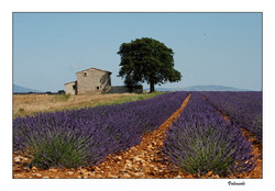 Lavender Fields of Northern Provence
