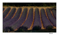 Lavender Fields Lost Provence