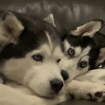 adopted_husky.JPG