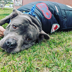 Bully in a puffer 🐾♥️ #adopt #pufferjacket