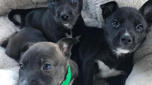 Pitsky Puppies!