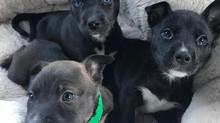 Pitsky Puppies!