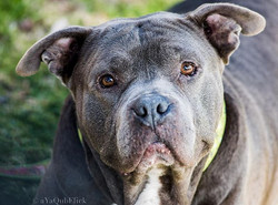 Adoption Event Tomorrow! Come meet Bully and crew❤️Rock & Brews 6300 s