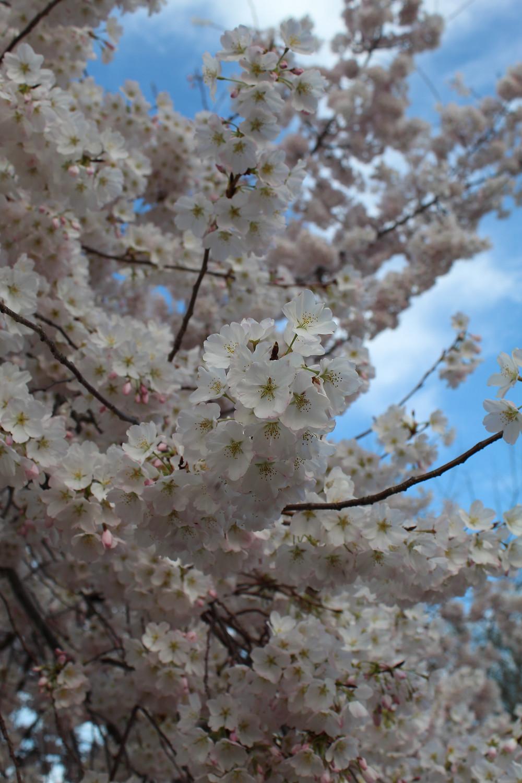 Florecimiento de los cerezos en Washington, D.C.