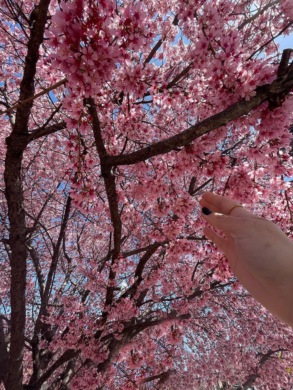 Árboles de cerezos en LeDetroit Park en Washington, D.C.