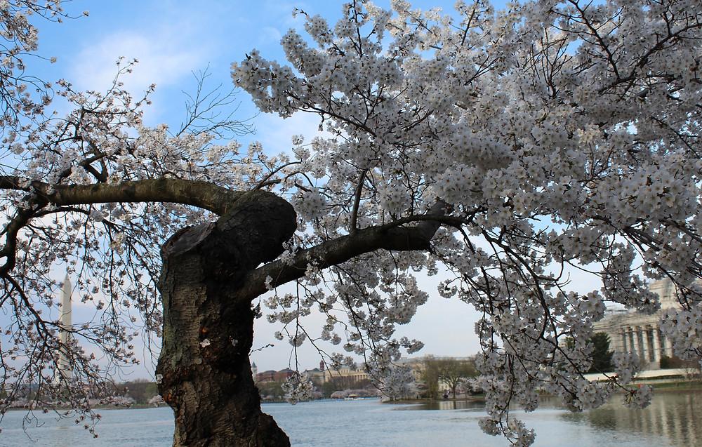 Florecimiento de los cerezos en el Tidal Basil en Washington, D.C.
