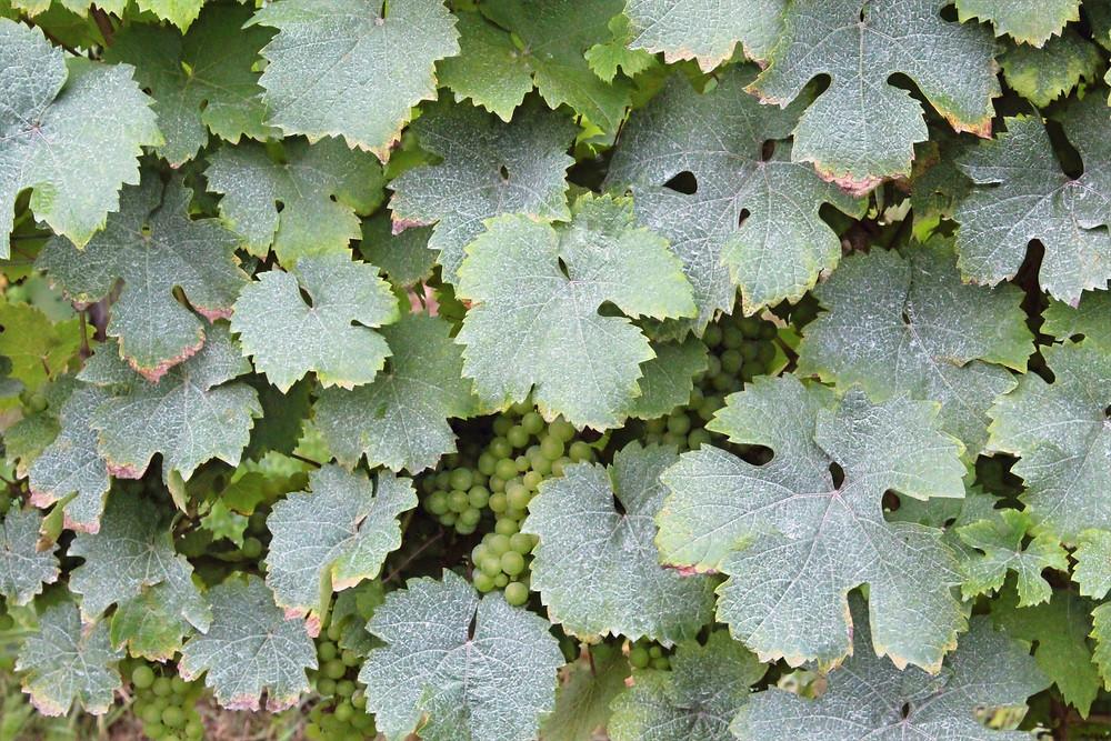 Cultivación de la uva riesling en Alemania.