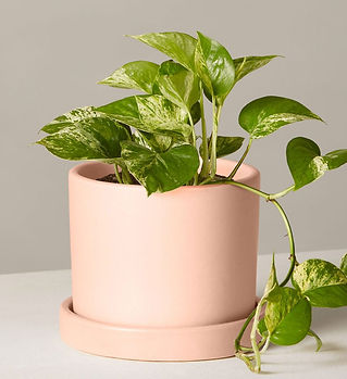 the-sill_golden-pothos_variant_small_hyd