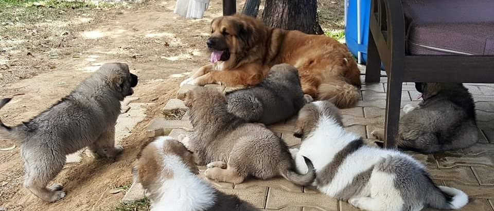 Caucasian Ovcharka Goliath Kennel Philippines