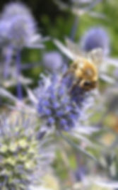 Photograph of bee on Eryngium blue flower