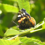 Photography - Painted Lady Butterfly