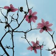 Photography - Magnolias