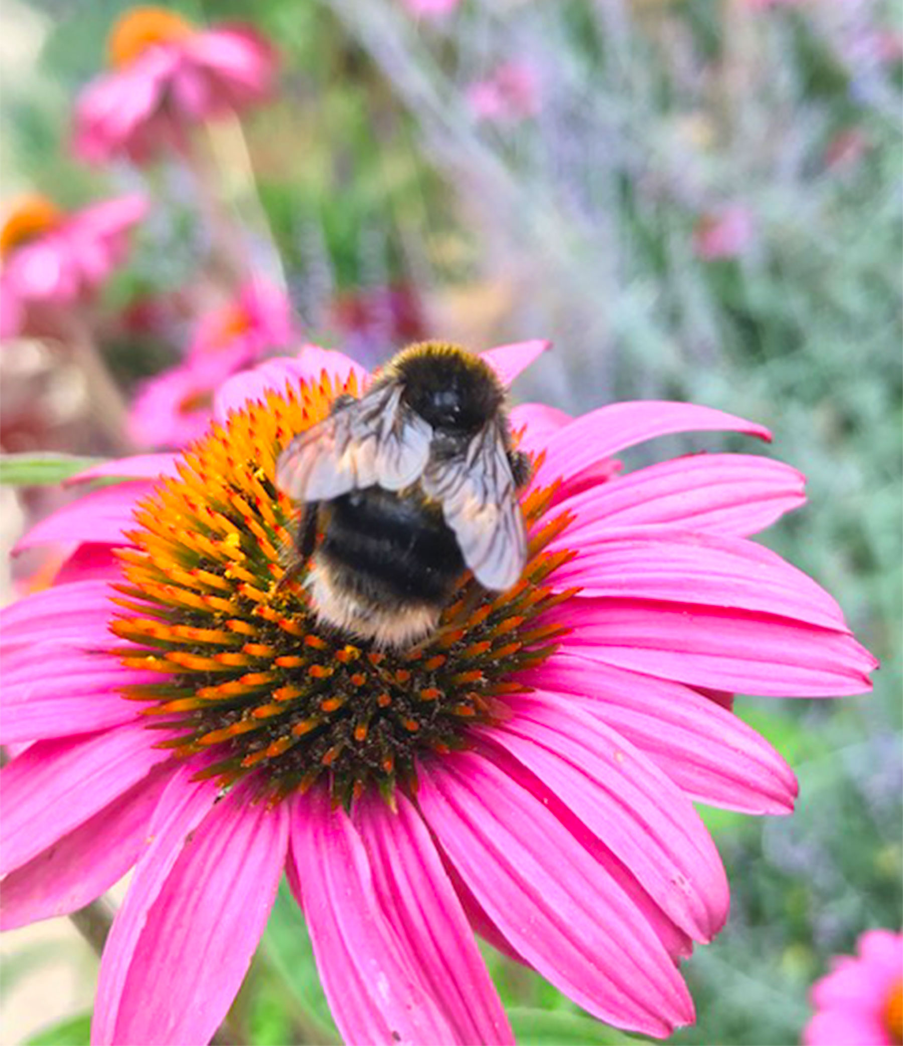 Echinacea-Bumble-Bee_Danielle-Collette-G