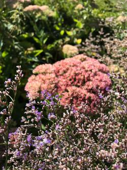 Sedum-flowers-danielle-collette-garden-d