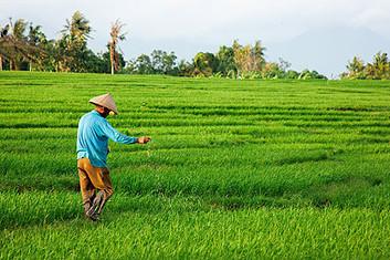 canggu ricefield