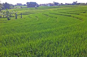 canggu ricefields