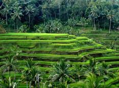 bali amazing ricefields