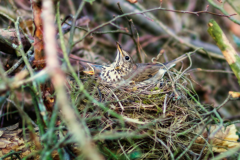 Młode pisklaki z mamą w gnieździe