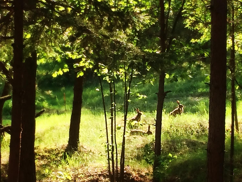 Zające w naszym lesie