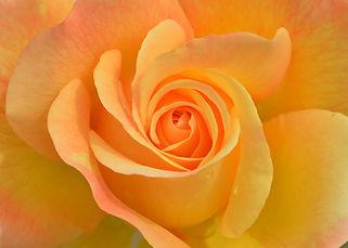 gele roos.jpg