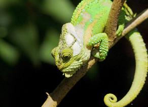 Knysna Dwarf Chameleon...