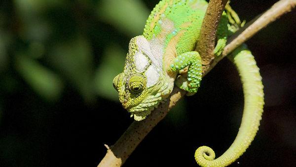 Chameleon_2.jpg