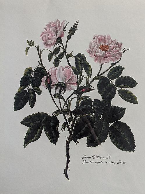 Vintage Rosa Villosa B. Print
