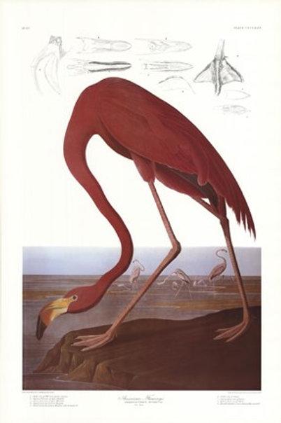 Audubon - American Flamingo