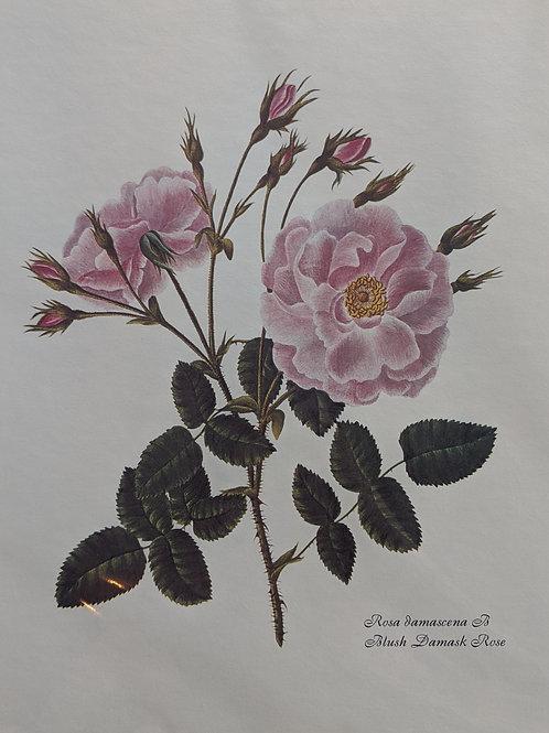 Vintage Rosa Jamascena Print