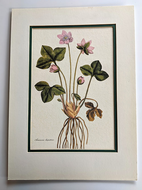 Vintage Botanical Print #2 (Original Matting)