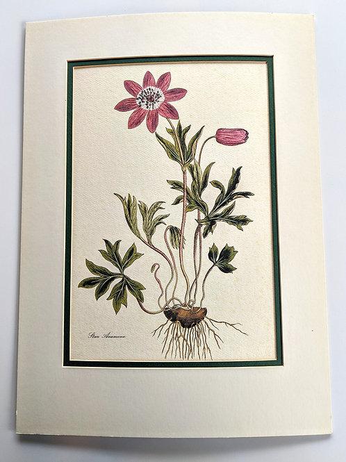 Vintage Botanical Print #1 ( Original Matting)