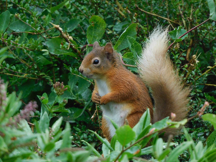Red squirrel Single Card