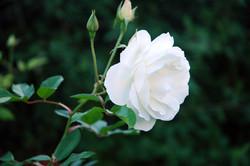 rose-1397047-1279x850.jpg