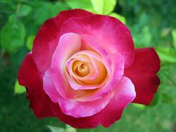 pink-rose-1200118-1280x960.jpg